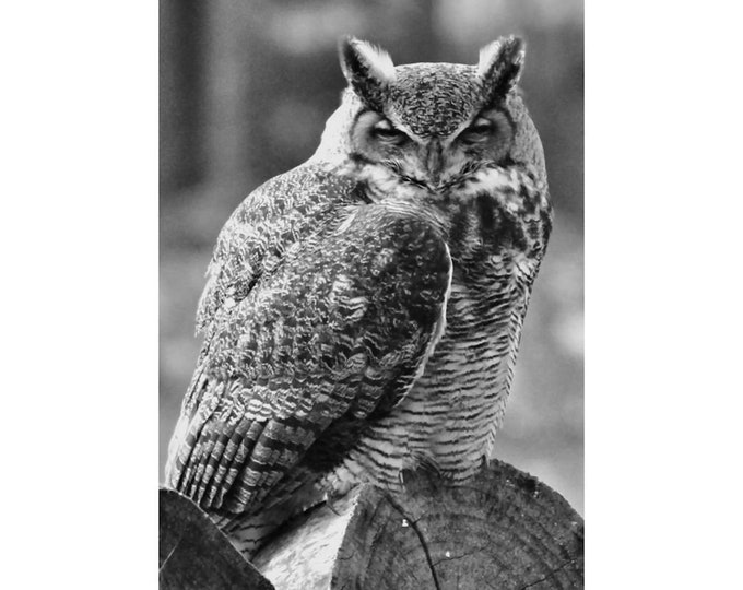 Great Horned Owl Black and White