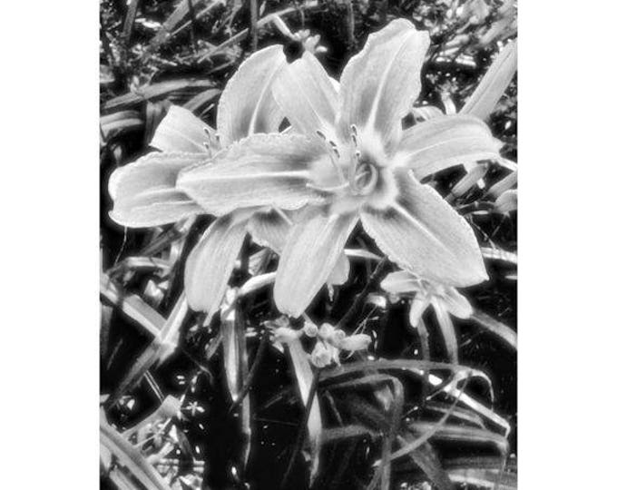 Daylilies in Black and White