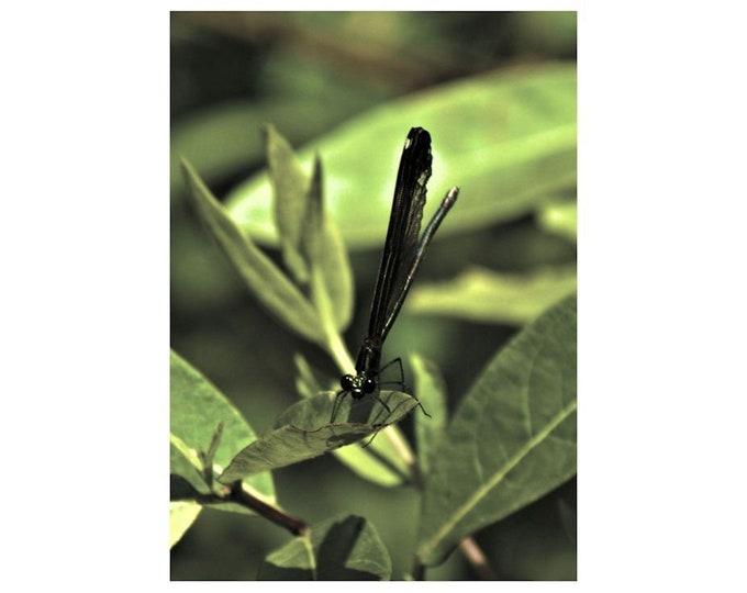 Black Dragonfly 1