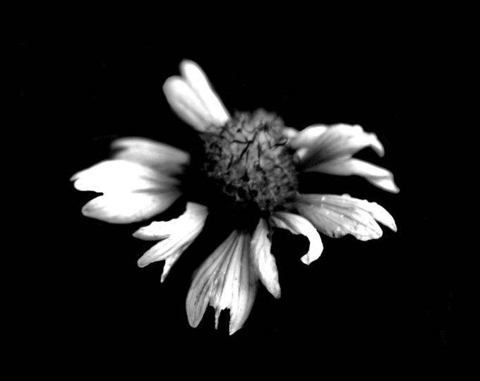 Mini Sunflower Black and White