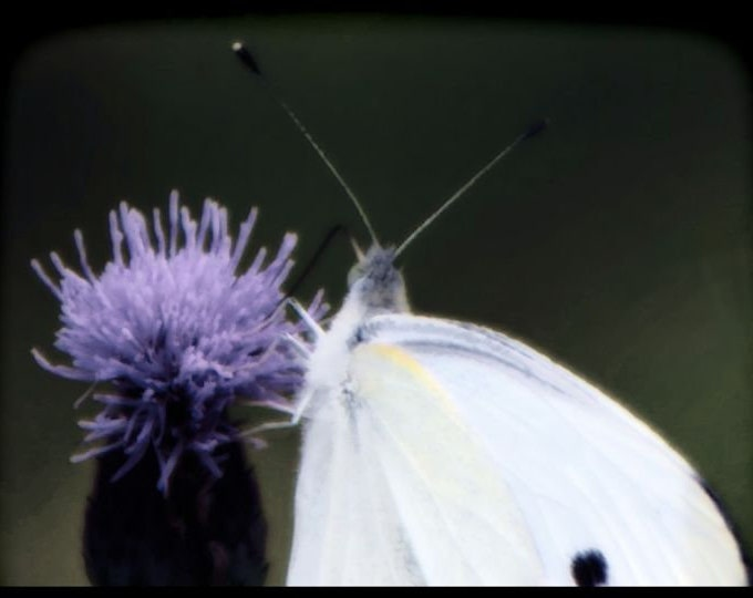Butterfly In White
