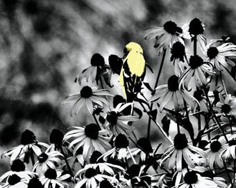 Yellow Finch Black and White
