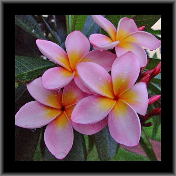 Plumeria frangipani pink orange flowers live plant cutting etsy image 0 mightylinksfo