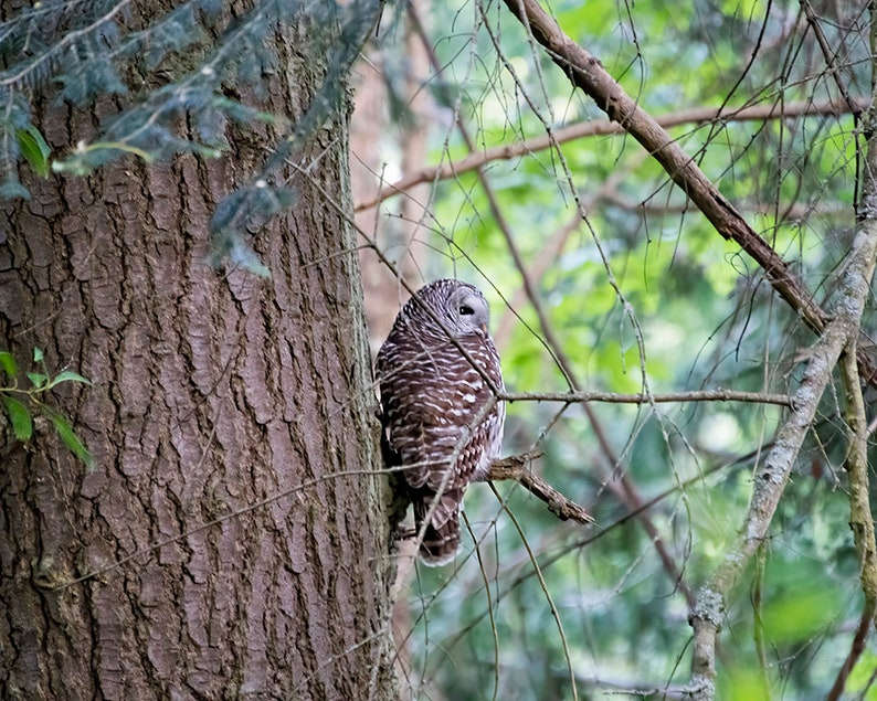 Owl Photography  Bird of Prey  Rustic Nature Art  Pacific image 0