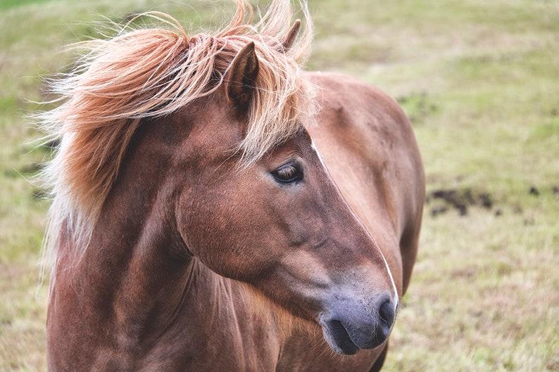 Icelandic Pony Photography  Equine Art  Rustic Home Decor  image 0