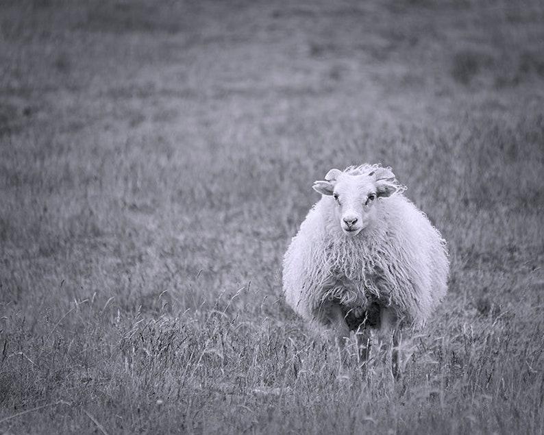 Icelandic Sheep  Folk Art  Sheep Photography  Black & White Full Frame w/Scenery