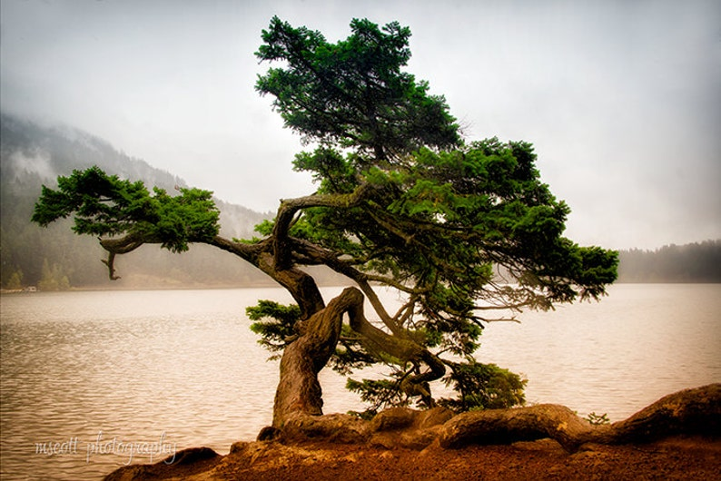Tree Photography  Monterey Pine Tree Print  Dreamy image 0