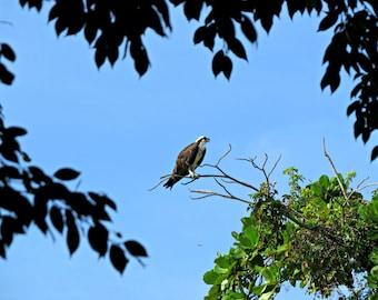 Fish Hawk   Osprey   Bird of Prey   Florida   Free US Shipping   MVMayoPhotography