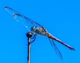 Dragonfly 31 Print   Etsy