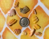 12 Sunrise Shells Langford Pecten for Jewelry Making A12