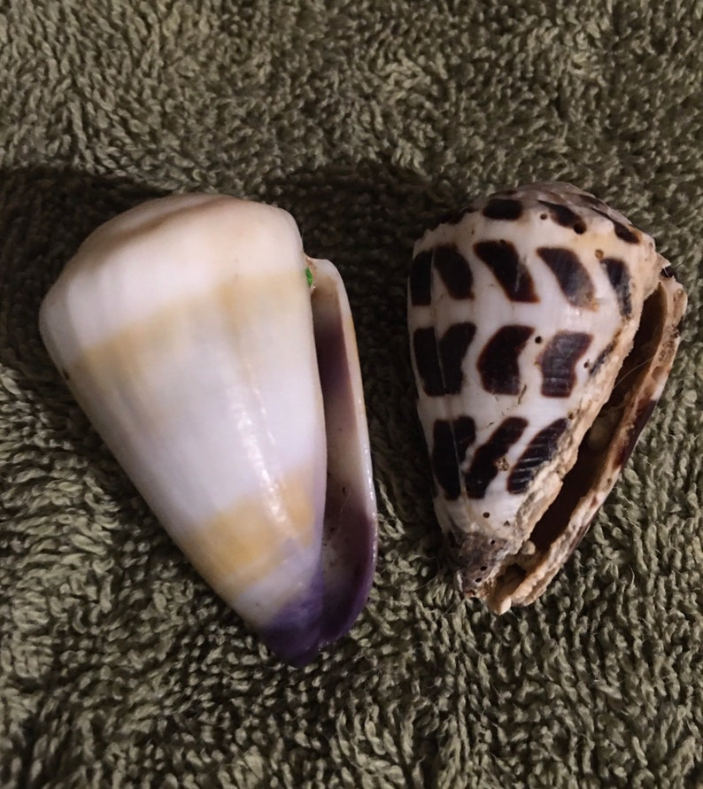 Conus Abbreviated Hebrew Huge Cone Seashells For Hermit Crabs Home