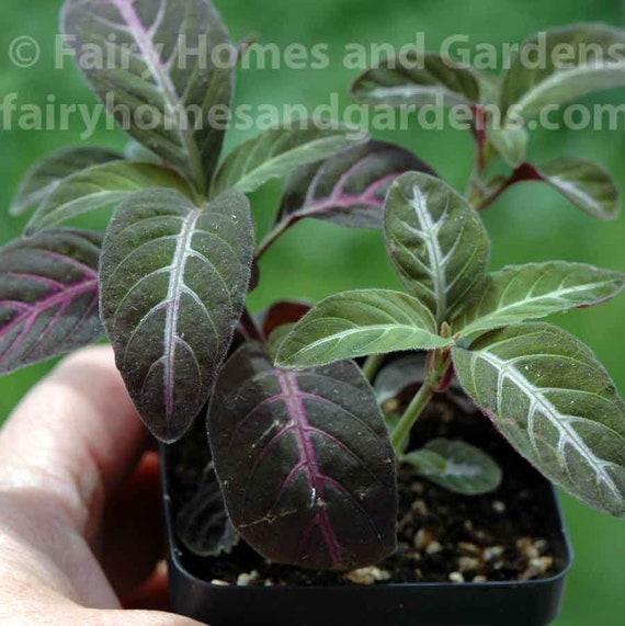 Ruellia Makoyana Velvet Vine Fairy Garden Plants | Etsy