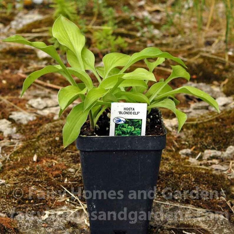 Miniature Hosta Blonde Elf Fairy Garden Plants Etsy