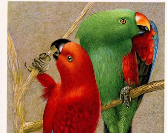 Red & green Eclectus parrot bird art from 1961. Vintage parrot print. Bird wall art. Tropical animal decor  Bird gift for ornitologist gift
