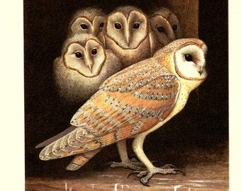 Barn owl art - 1959 Vintage Barn owl decor - Tyto alba - Owl decor-  Owl gift