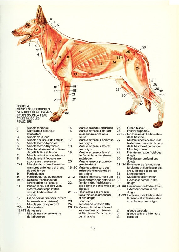 Dog Gift 1975 Anatomy Poster Vintage Dog Muscles Poster Etsy