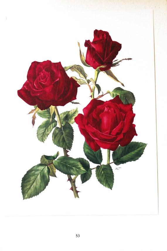 Red Rose Botanical Art 1962 Vintage Roses