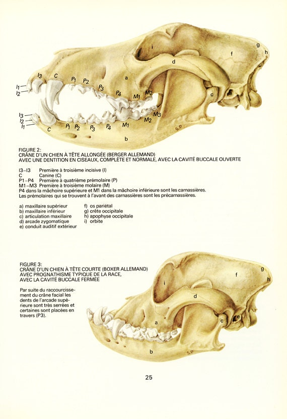 Dog Skull Art 1975 Vintage Dog Anatomy Art Veterinarian Etsy