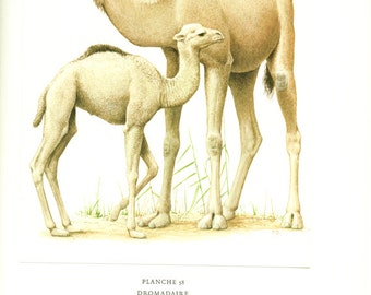 Dromedary poster 1970 Vintage Camel art Camel poster French print Dromedary poster Camel gift Dromedary gift Dromedary art Camel print