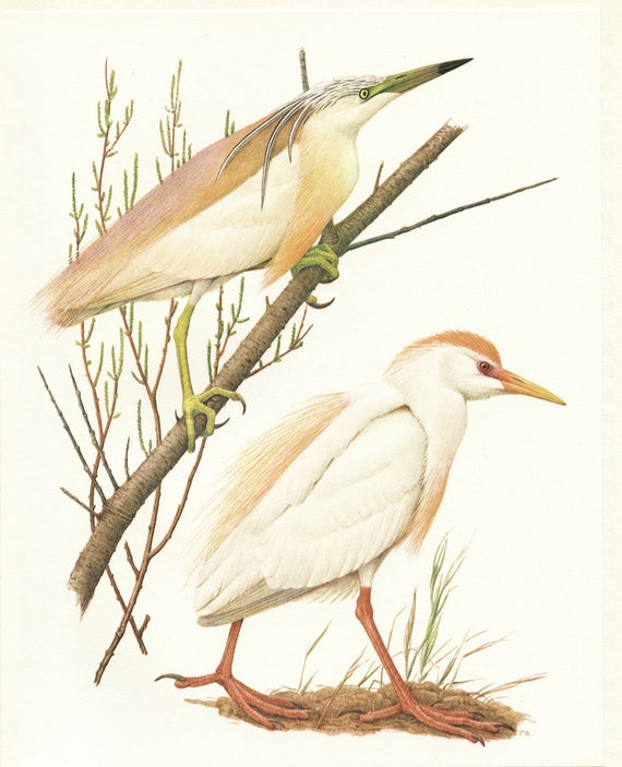 Pond Heron Cattle Egret Bird Art From 1962 For Vintage Wading Bird Decor White Water Bird Prints Bird Gifts For Bird Nerds By Barruel