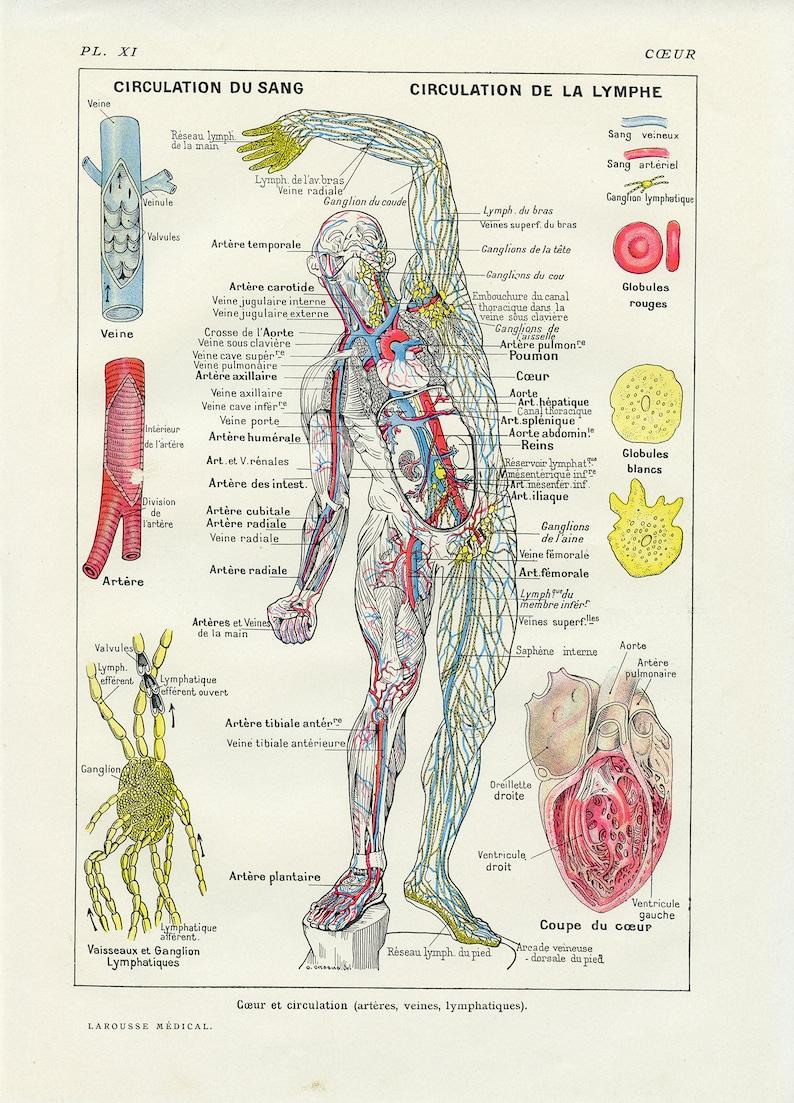 medecin circulation sanguine