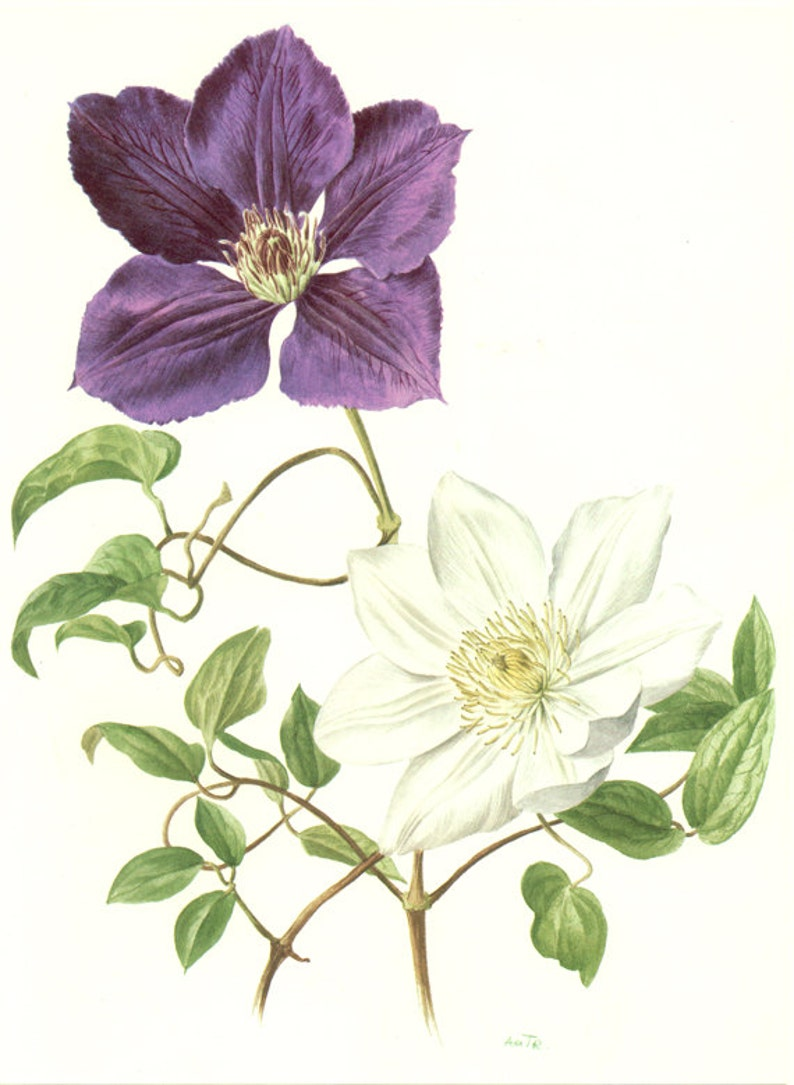 1972 French botanical art Vintage clematis poster Floral prints Vintage botanical poster Purple flowers illustration Purple flower poster