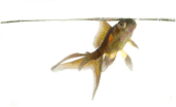 Goldfish Counted Cross Stitch Pattern Chart PDF Download by Stitching Addiction