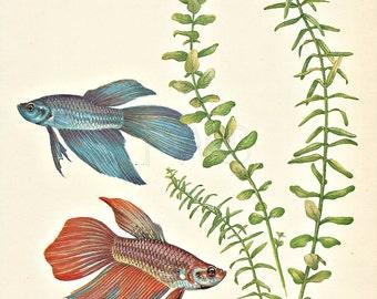 Fish Print, Aquarium Print, Natural History, Art Illustration to Frame, plate, Beach Decor, Betta, Siamese Fighting Fish, A-6