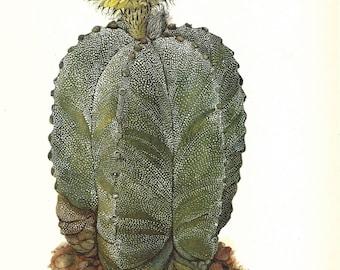 Cactus Print, Botanical Print, Art Print, Home Decor, Book Plate, Antique Illustration, 1970s, Wall Decor Astrophytum myriostigma, A-14