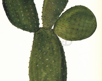 Cactus Print, Botanical Print, Art Print, Home Decor, Book Plate, Antique Illustration,  Wall Decor, Opuntia microdasys, Green, A-14