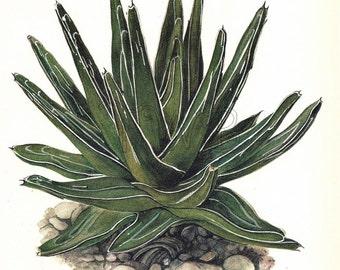 Cactus Print, Botanical Print, Art Print, Home Decor, Book Plate, Antique Illustration, 1970s, Wall Decor, Agave victoriae, Green, A-14