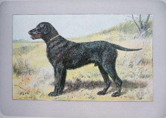 CURLY COATED RETRIEVER DOG AT WORK LOVELY LITTLE PRINT MOUNTED READY TO FRAME