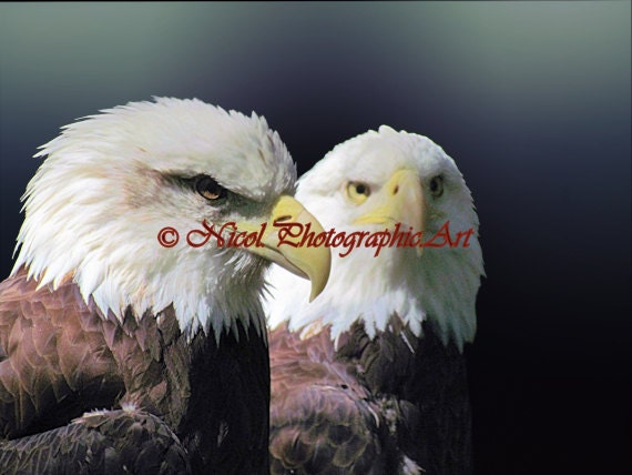 American Bald Eagle Pair Bird Wildlife Wall Art Home Decor