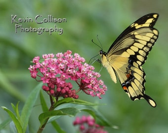 Giant swallowtail butterfly on rose milkweed