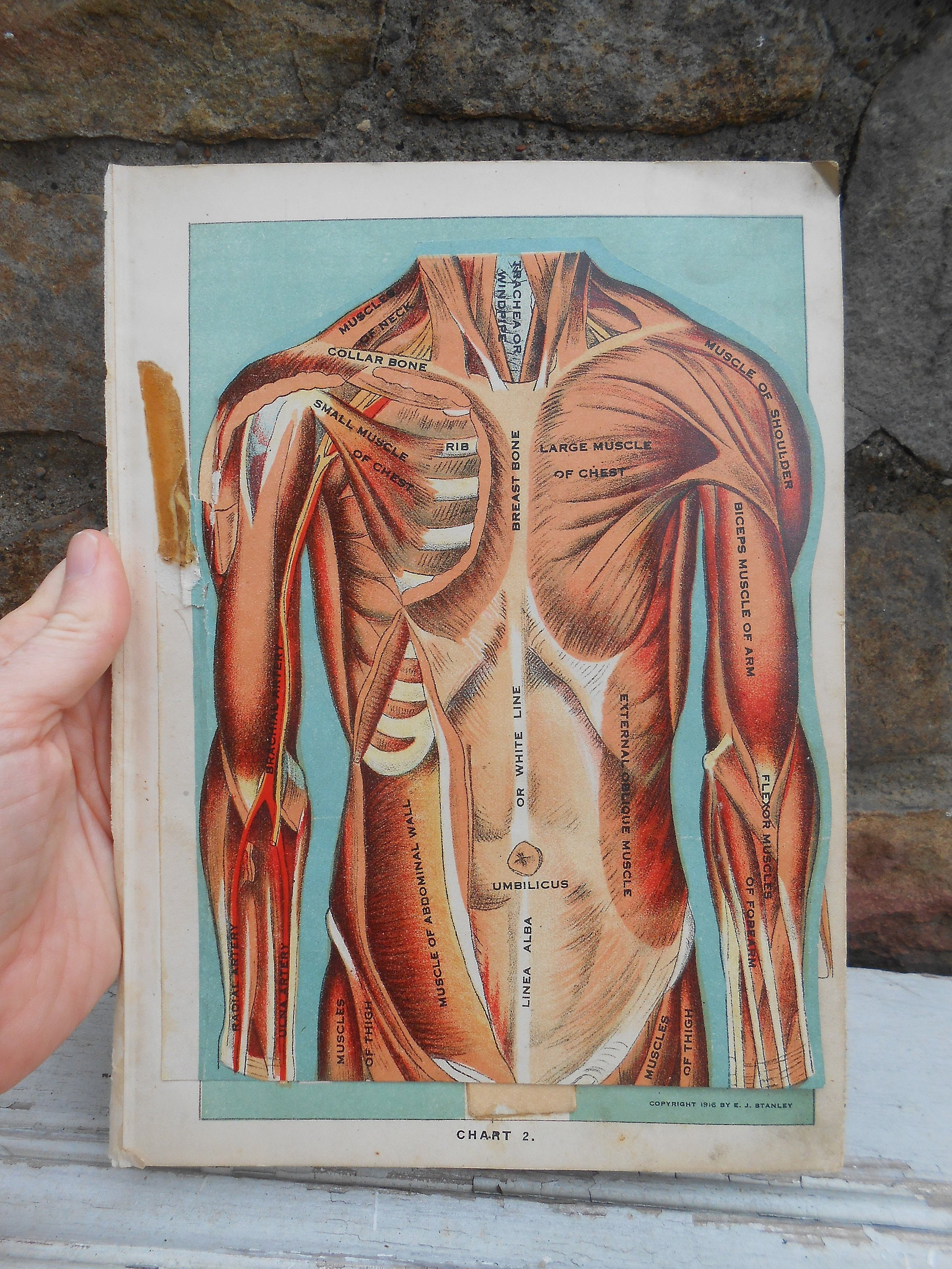 Antique Color Illustration Fold Out Book Plate Anatomy Muscles Etsy