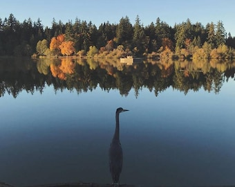 Great Blue Heron Photography Print - Autumn, Lost Lagoon, Stanley Park, Vancouver, British Columbia