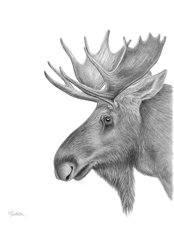"Moose Original Drawing- 22"" x 30""- Graphite on Paper."