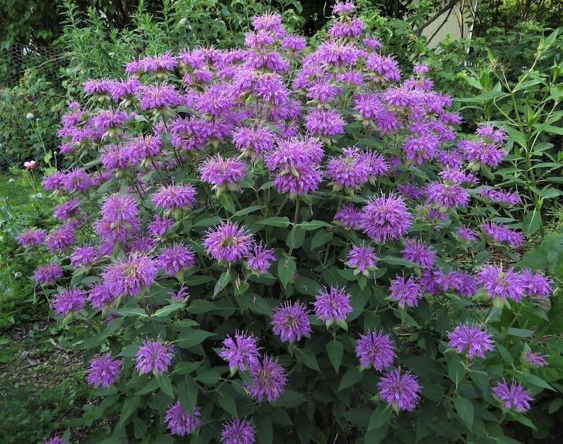 Wild Bergamot Seeds Monarda fistulosa Native Wildflower | Etsy
