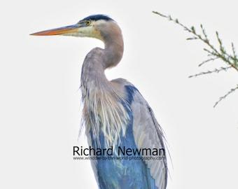 Blue Heron,  Bird Art, Outdoor Life, Nature, Photography