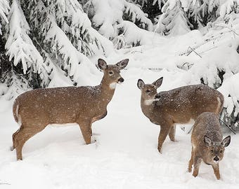 White-tailed Deer PRINT ACRYLIC or CANVAS Gallery Wrap Winter Landscape Photo Picture Snow Fine Art Home Cottage Decor Wildlife Gift for him