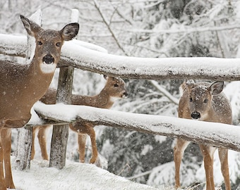 White-tailed Deer PRINT ACRYLIC or CANVAS Gallery Wrap Rural winter landscape Photo Picture Snow Fence Home  Decor Wildlife Gift for him her