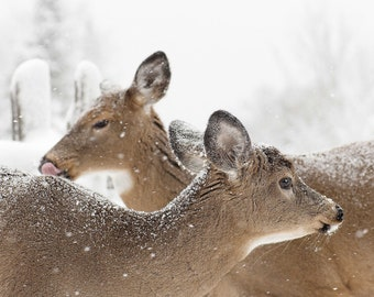 White-tailed Deer PRINT, ACRYLIC or CANVAS Gallery Wrap Winter Landscape Photo Picture Poster Art Home Cottage Decor Wildlife Gift for him