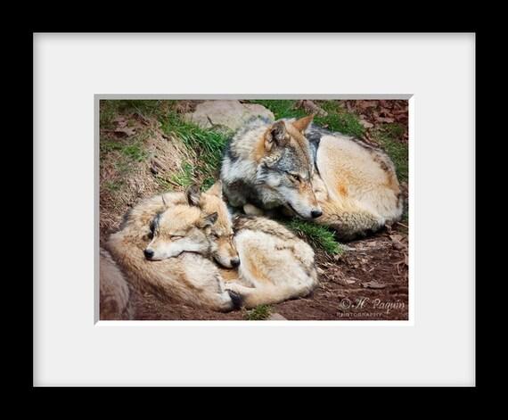 Louveteaux Bébés Loups Avec Leur Mère Photo 5x7 Décor Maison Chalet Cabine Beige Brun Loup Gris De L Est Amateur De Loups Décoration