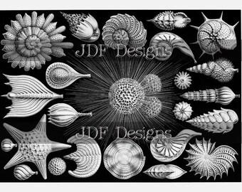 Instant Digital Download, Vintage Edwardian Antique Graphic, Sea Shells, Starfish, Marine Mollusks Book Plate, Seashells, Ocean Creatures