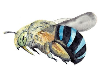 Blue Banded Bee Print, Australian Native Bee Watercolour Painting Art Print, Insect Reproduction, Honey Lovers Gift