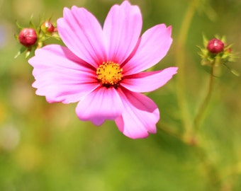 Cosmos - Flower Photo Print - Botanical Wall Art - Pink Floral - Size 8x10, 5x7, or 4x6