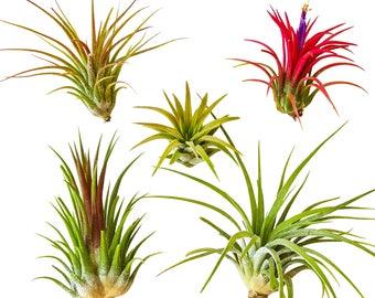 5pc Air Plants Tillandsia 'Ionantha' Assorted / Terrarium plants / Houseplants