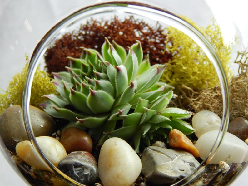 Succulent Terrarium With Moss And River Rocks 4 Round Etsy