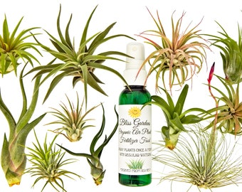 12pc Air Plant Tillansia Starter Set by Bliss Gardens / Includes 11 Live Plants with 1 Bottle of Organic Fertilizer Food