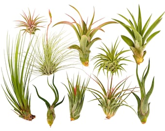 10pc Air Plant Tillandsia Variety Pack / Live Plants for Terrariums & Home Decor by Bliss Gardens